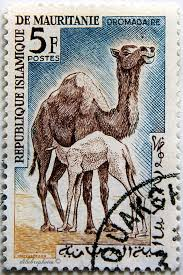 L'attribut alt de cette image est vide, son nom de fichier est dromadaire-mauritanie.jpg.